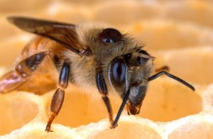 honeybee varroa workshop pixabay solatina